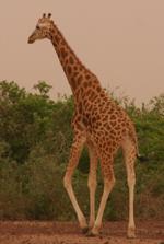 Girafe - Niamey (Niger)